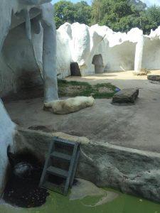 ijsbeer_ouwehands dierenpark